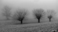 Alberi nella nebbia (Luigi Alesi) Tags: marche sanseverino italia italy macerata san severino campagna countryside paesaggio landscape scenery nebbia fog mist misty foggy bianco e nero black white alberi trees foschia fhjifilm xm1 raw bn bw