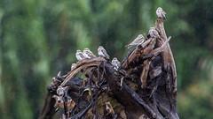 086.3 Zandkleurige Nachtzwaluw-20171112-J1711-67219 (dirkvanmourik) Tags: aves añaperoblanco birdsofperu chordeilesrupestris manuriver manureservedzone parquenacionaldelmanu peru2017 rainforest sandcolorednighthawk tropischregenwoud vogel zandkleurigenachtzwaluw