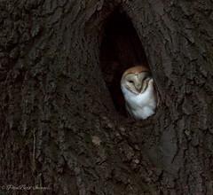 Barny at home (budgiepaulbird) Tags: barnowls owls canon7dmark2 100400mark2