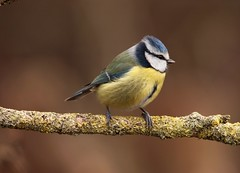 """old leathery feet"" Blue Tit - Sprotbrough Flash (westoncfoto) Tags: sprotbroughflash"