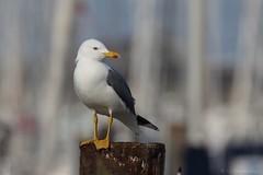 Goéland leucophée - Yellow-legged Gull (Larus michahellis) - Arcachon - Criée (Gironde) France, le 27 janvier 2018 (Loïc Le Comte) Tags: goélandleucophée yellowleggedgull larusmichahellis arcachon