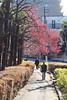Early Spring Color (seiji2012) Tags: 梅 大田区 沼部 六郷用水 春 ume japaneseapricot plum street walker stroll seiji