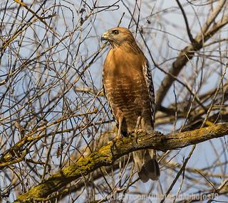 Red Shouldered Hawk _ IMG_5182