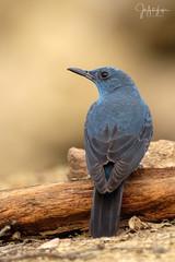 Roquero solitario (Lagier01) Tags: aves birds fauna nature roquerosolitario wildlife pájaro alpasin fujifilm fujista naturaleza