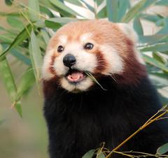 red panda Blijdorp BB2A9061 (j.a.kok) Tags: panda redpanda rodepanda kleinepanda blijdorp animal asia azie china mammal zoogdier dier