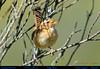 SEDGE WREN Cistothorus platensis Singing at Volcán Cotopaxi in Northern ECUADOR. Photo by Peter Wendelken. (Neotropical Pete) Tags: sedgewren sedgewrensinging sedgewreninecuador sedgewrenatvolcáncotopax wren soterreysabanero soterrey cistothorusplatensis cistothorus troglodytidae ecuadorwrens southamericanwrens ecuadorbirds southamericanbirds andeanbirds neotropicalbirds cotopaxibirds aves volcáncotopaxi ecuador photobypeterwendelken peterwendelken ngc coth5 npc