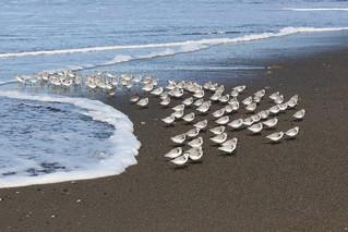 Sanderlings, casually fleeing an incoming wave