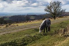 Pony by a Dartmoor Track _ NK2_4992 (Jean Fry) Tags: dartmoor dartmoornationalpark dartmoorponies devon englanduk moorland ponies trees uk westcountryuk