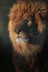 _PIC7010 (kryztophe) Tags: lion