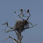 bald eagle family on nest. thumbnail