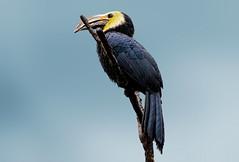 "Hornbill (Millie Cruz * ""On and Off-Busy"") Tags: ""tamron18400"" bird hornbill bill yellow branch sky bronxzoo zoo texture topaztextures"