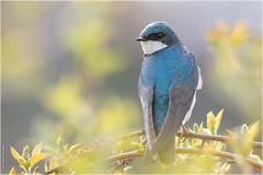 Tree Swallow (Chris Lue Shing) Tags: nikond7100 tamronsp150600mmf563divcusd bird aurora ontario nokiidaatrail mckenziemarsh wetland canada nature treeswallow ©chrislueshing spring bokeh nikon tamron 150600 150600mm animal d7100