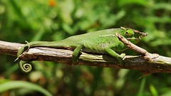 Two-banded Chameleon ( Furcifer balteatus) (Susan Roehl) Tags: madagascar2017 islandofmadagascar offtheeastcoastofafrica peyrierasmadagascarexoticreserve twobandedchameleon furciferbalteatus male coldblooded reptile animal rainforestchameleon foundin1851 endemic endangered wood branch macro degradationofhabitat illegalpettrade illegalexport patchydistribution variableincolor wellcamouflaged arboreal mainlygrenincolor twowhitebandsonbody twohornyprojections sueroehl photographictours naturalexposures panasonic lumixdmcgh4 35x100mmlens handheld cropped coth5 ngc