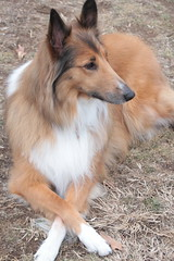 Bella.. (catherine4077) Tags: dog collie pet outside outdoors frontroyal virginia