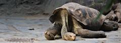 Giant tortoise (dugar.sumit1990) Tags: praha zoo prague giant tortoise animal rock