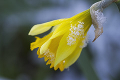 / (dagomir.oniwenko1) Tags: narcissus daffodil flower yellow snow winter nature england boston lincolnshire canon canoneos7d canonefs60mmf28macrousm uk gb
