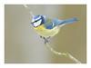 Pimpelmeesje (jos.pannekoek) Tags: bluetit vogels animal 200500 d500 wildlife