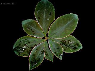 Amorphophallus atroviridis [Flickr Explore: 04 Mar 2018]