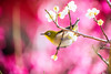 Enjoy the Joys of Spring (moaan) Tags: kobe hyogo japan jp bird mejiro japanesewhiteeye ume umeblossom tree branch perch japaneseapricot springtime march touchofpink dof depthoffield bokeh bokehphotography canoneos5dsr ef7020mmf28lisiiusm utata 2018