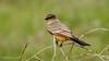 Say's Phoebe (Bob Gunderson) Tags: birds california coyotevalley empidonaxflycatchers flycatchers northerncalifornia santaclaracounty saysphoebe sayornissaya southbay