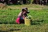 Koh Trong - Basil field (philk_56) Tags: cambodia southeast asia kohtrong island mekong river farm field basil