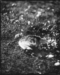Dead Duck (Aspects of Photography) Tags: wetplate wet plate collodion negative glas glassnegative goerz celor folmer schwing 8x10 large format largeformat grave graveyard cemetery