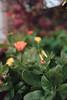 ILCE-7M2-09972-20180116-1251 // Vivitar MC Close Focus Wide Angle 28mm 1:2 (Otattemita) Tags: 28mmf20 florafauna vivitar vivitarkomine vivitarmcclosefocuswideangle28mmf20 fauna flora flower nature plant wildlife vivitarmcclosefocuswideangle28mm12 sony sonyilce7m2 ilce7m2 28mm cnaturalbnatural ota