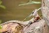 Australian Eastern Water Dragon (Linda Martin Photography) Tags: australia physignathuslesueurii easternwaterdragon animals wildlife reptile australianreptilepark nsw coth naturethroughthelens coth5 ngc alittlebeauty npc