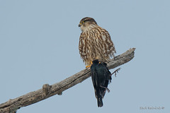 Merl does his part (Earl Reinink) Tags: bird animal raptor predator perch tree sky winter hawk falcon merlin starling duzaiaadza earl reinink earlreinink