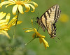 Dance with me (N.Clark) Tags: canadiantigerswallowtailpapiliocanadensis swallowtails manitobabutterflies yellow yellowbutterflies insects butterflies butterfliesofmanitoba naturethroughthelens