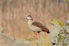 Egyptian Goose (Photo & Nature) Tags: bamberg deautschland d3300 200500 wildlife nature birds nilgans nikon aquaticbird