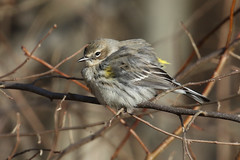 Yellow-rumped Warbler at 21 deg F.....6O3A7575A (dklaughman) Tags: yellowrumped warbler bombayhooknwr delaware