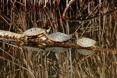 Suntan (LaDani74) Tags: lake water reflections turtle turtles animal chelonia tartaruga aquaticturtle tamron70300 canoneos760d parcodellapiana italy tuscany firenze