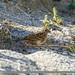 Pine Bunting (Emberiza leucocephalos)