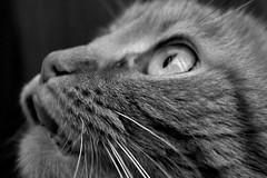 waiting for breakfast (© mpg) Tags: mpg2018 week6itsrainingcatsanddogs week6theme 52weeksthe2018edition week62018 52weeksin2018 weekstartingmondayfebruary052018 cats macro portrait 652 closeup