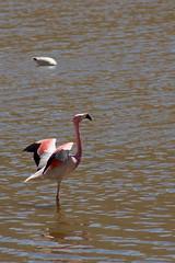 Flamingo andino - Chile (Osvaldo Borges Cardoso) Tags: machuca regióndeantofagasta chile lagunas altiplânicas atacama desertodeatacama desert desierto lagunasaltiplânicas aves birds pássaros pájaros flamingo flamingoandino phoenicoparrusandinus