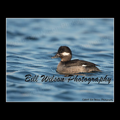 bufflehead female (wildlifephotonj) Tags: bufflehead buffleheads buffleheadfemale duck ducks wildlifephotographynj naturephotographynj wildlifephotography wildlife nature naturephotography wildlifephotos naturephotos natureprints birds bird