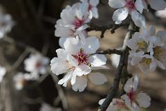 DSC_1189 (rskim119) Tags: fresno fruit tree blossom flower trail spring