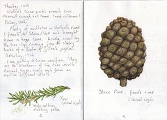 Yew and Stone Pine (Hornbeam Arts) Tags: cone conifer taxusbaccata pinuspinea