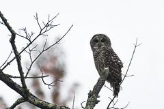 Barred Owl (adbecks) Tags: nikon d500 200500 wildlife greatswamp barredowl