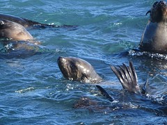 seals at play off Seal Island, False Bay, Western Cape