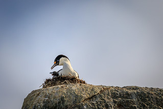 Antarctic Cormorant
