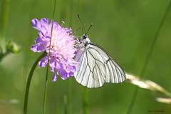 Dans la lumière de mai. (jpto_55) Tags: papillon legazé proxi bokeh xe1 fuji fujifilm omlens om135mmf28 hautegaronne france ngc