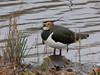 Lapwing (Deanne Wildsmith) Tags: earthnaturelife bartonmarina staffordshire lapwing