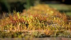 ' fragile mosses' (Jeannette Maandag) Tags: nature mosss green closeup bokeh dof fujixt20 fragile fujifilm yellow mosses moss seeding