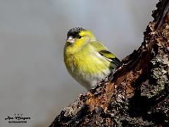 Lugano macho Madrid España (ANA MINGUEZ CORELLA) Tags: eurasian siskin lugano madrid españa birds aves digiscoping kowa canon