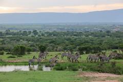 Sortie de bain pour les zèbres (Kaïyah) Tags: zebra zèbres mammal group landscape morning bath water masaïmara kenya sunrise