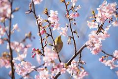 _DSC0709.jpg (plasticskin2001) Tags: mejiro sakura flower bird
