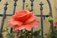 EVERYTHING'S COMING UP ROSES (kelsey61) Tags: flower fleur flor rose trellis iron plant garden