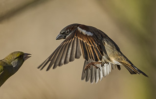 Tree Sparrow - Best not to argue!